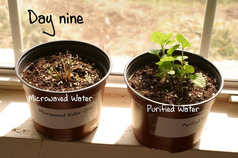Experiment Microwaved Water Kills Plants Eutimes Net
