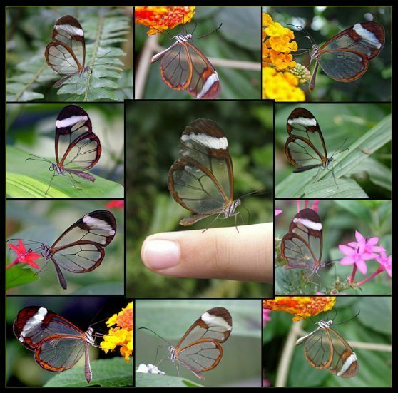 Transparent Butterfly - Seeing is Believing
