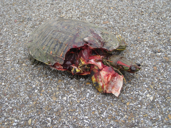 Can A Car Break A Turtle S Shell